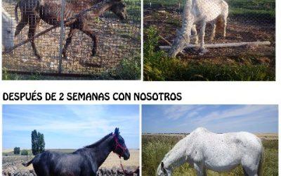 LAYA Y KALESI, DOS YEGUAS ABANDONADAS PARA MORIR,
